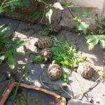 Griechische Landschildkröten-Testudo hermanni boettgeri NZ 2020 zu verkaufen