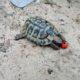 Griechische Landschildkröten im Freigehege