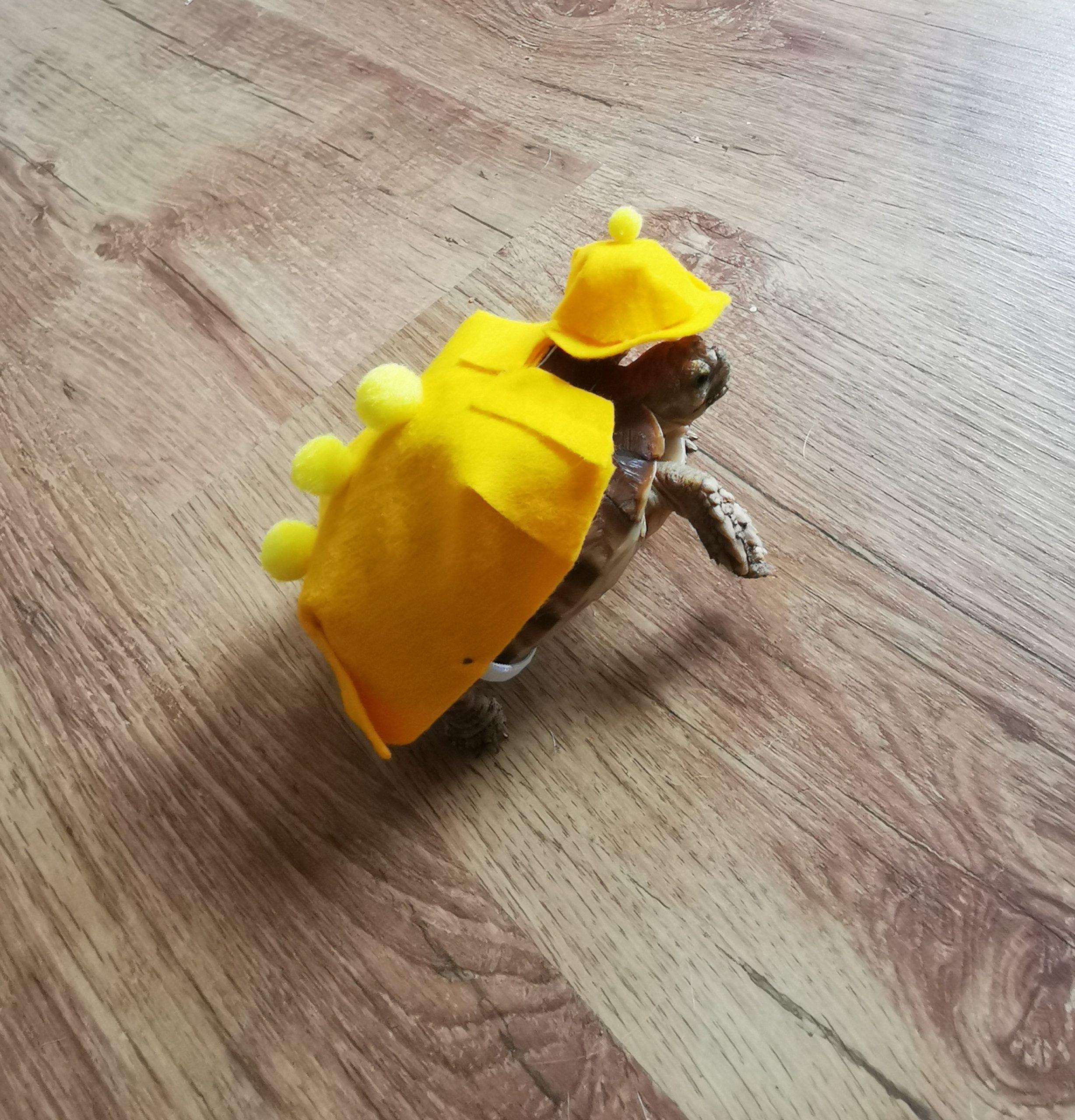Spornschildkröte Urmel mit Regenmantel auf Erkundungstour