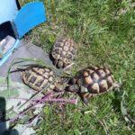 2 Breitrandschildkröten und eine griechische Vermisst