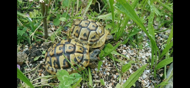 Griechische Landschildkröten im Freigehege beim fressen