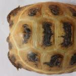 Steppenschildkröten
