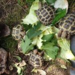 Steppenschildkröten ( Testudo Horsfieldii ) NZ von 2019 und 2020 zu verkaufen