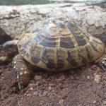 2 Weibliche Griechische Land Schildkröten zu verkaufen NZ 2008