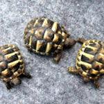 Griech. Landschildkröte NZ 2020 zu verkaufen