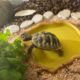 Griechische Landschildkröte beim fressen