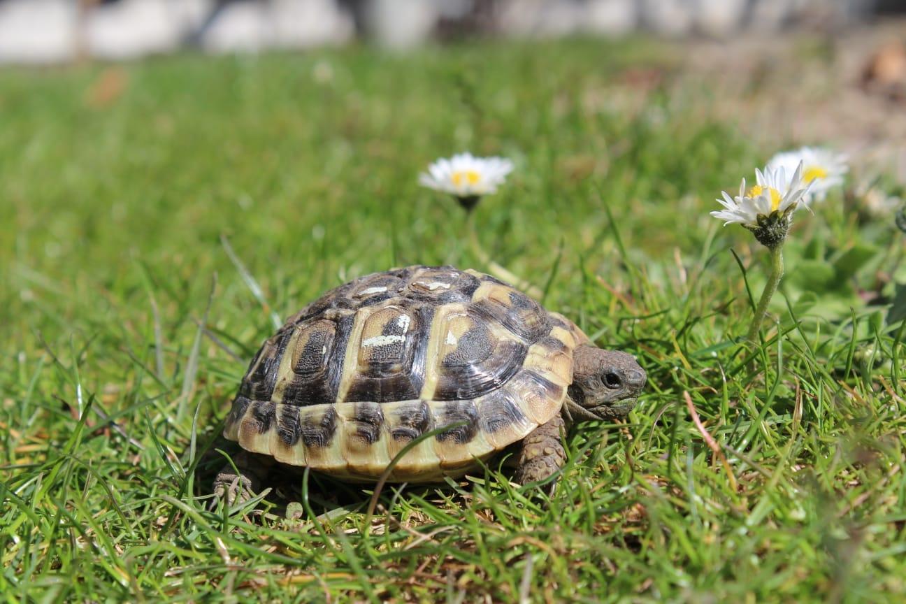 Zwei Griechische Landschildkröten NZ 2020 zu verkaufen ...