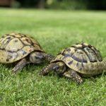 Zwei griechische Landschildkröten, 30 Jahre männlich und ca. 16 Jahre weiblich