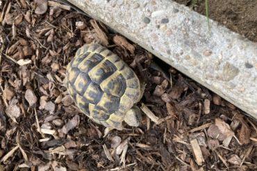 Landschildkröte gefunden am 18.09.