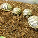 Griechische Landschildkröten NZ 2021