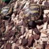 Griechische Landschildkröten Nachzuchten 2021