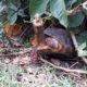 Köhlerschildkröte in ihrer natürlichen Umgebung in Bolivien