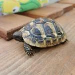 Kleine Schildkröte gefunden in 81245 München Nähe Bergsonstrasse