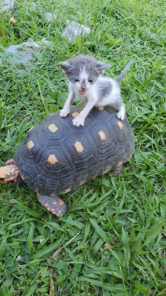 Koehlerschildkroete-Geochelone-carbonaria-mit-kleiner-Katze